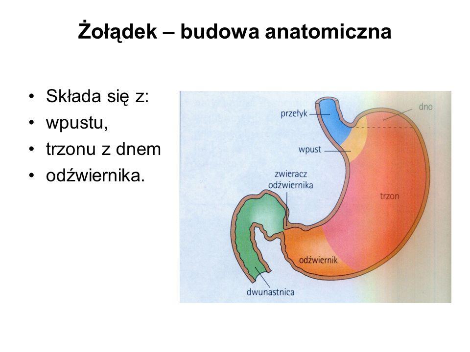 Żołądek – budowa anatomiczna