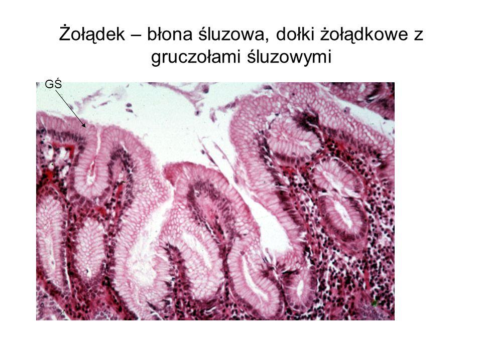 Żołądek – błona śluzowa, dołki żołądkowe z gruczołami śluzowymi