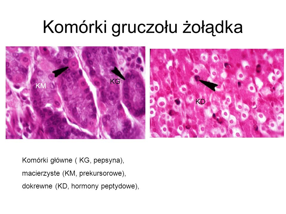 Komórki gruczołu żołądka