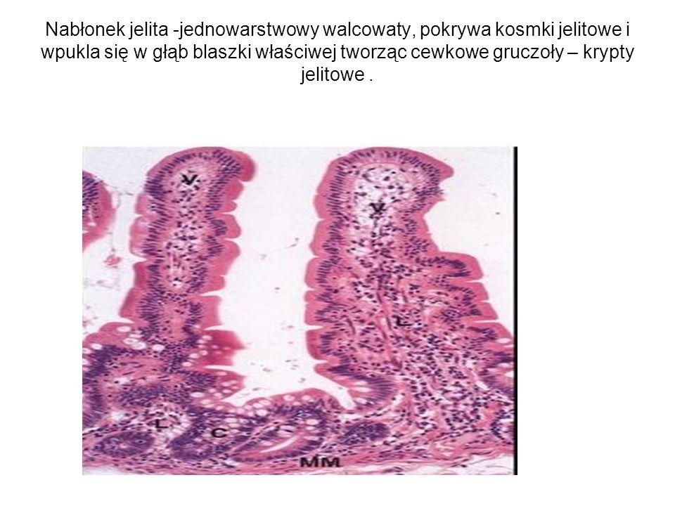Nabłonek jelita -jednowarstwowy walcowaty, pokrywa kosmki jelitowe i wpukla się w głąb blaszki właściwej tworząc cewkowe gruczoły – krypty jelitowe .