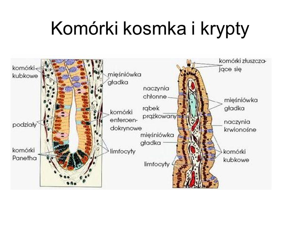 Komórki kosmka i krypty