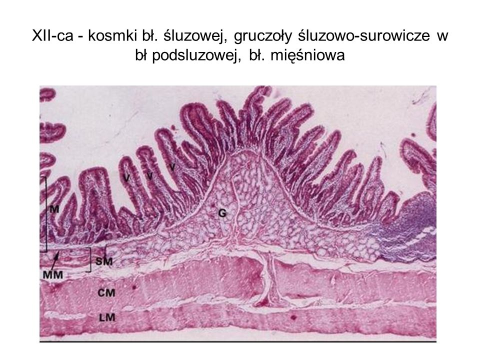 XII-ca - kosmki bł. śluzowej, gruczoły śluzowo-surowicze w bł podsluzowej, bł. mięśniowa