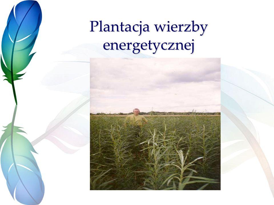 Plantacja wierzby energetycznej