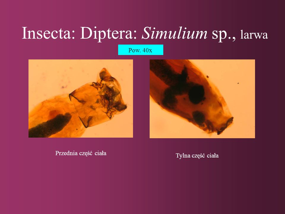 Insecta: Diptera: Simulium sp., larwa