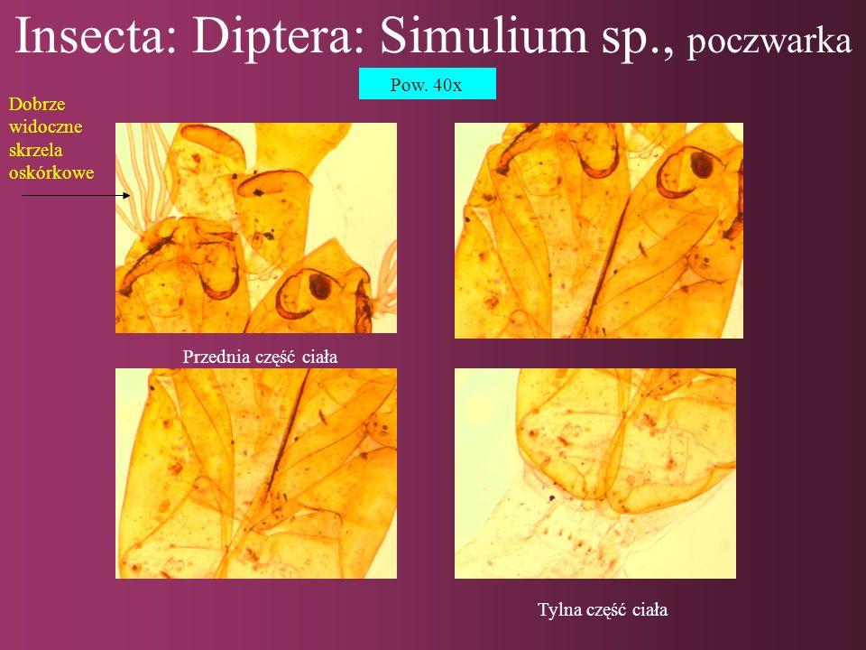 Insecta: Diptera: Simulium sp., poczwarka