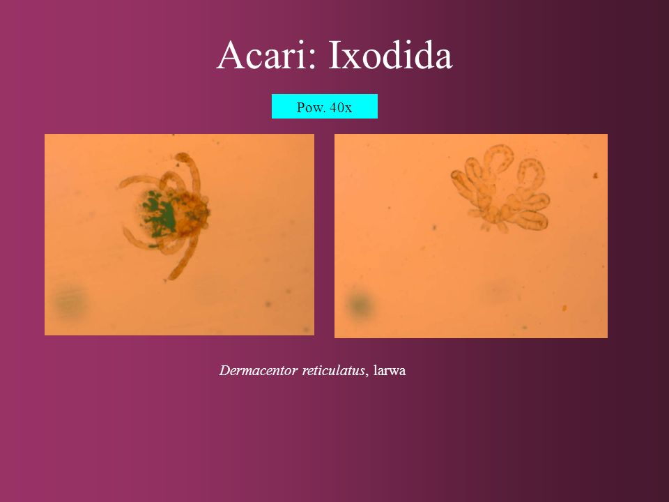 Dermacentor reticulatus, larwa