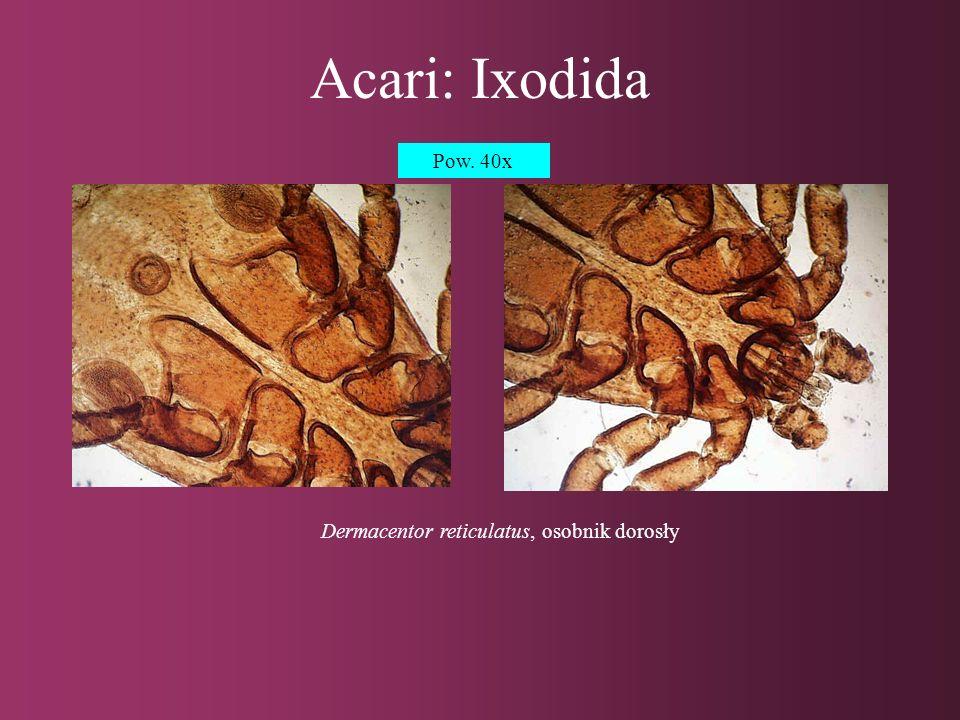 Dermacentor reticulatus, osobnik dorosły