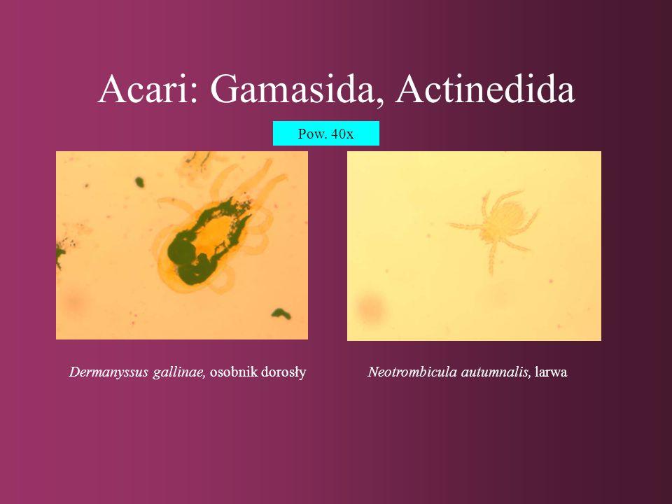 Acari: Gamasida, Actinedida