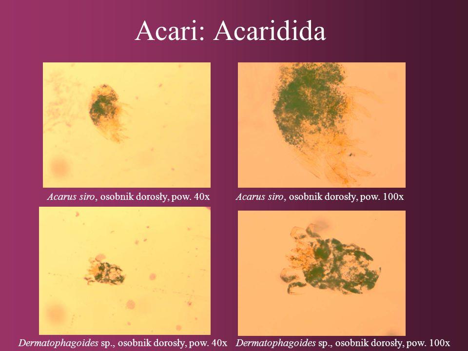 Acari: Acaridida Acarus siro, osobnik dorosły, pow. 40x