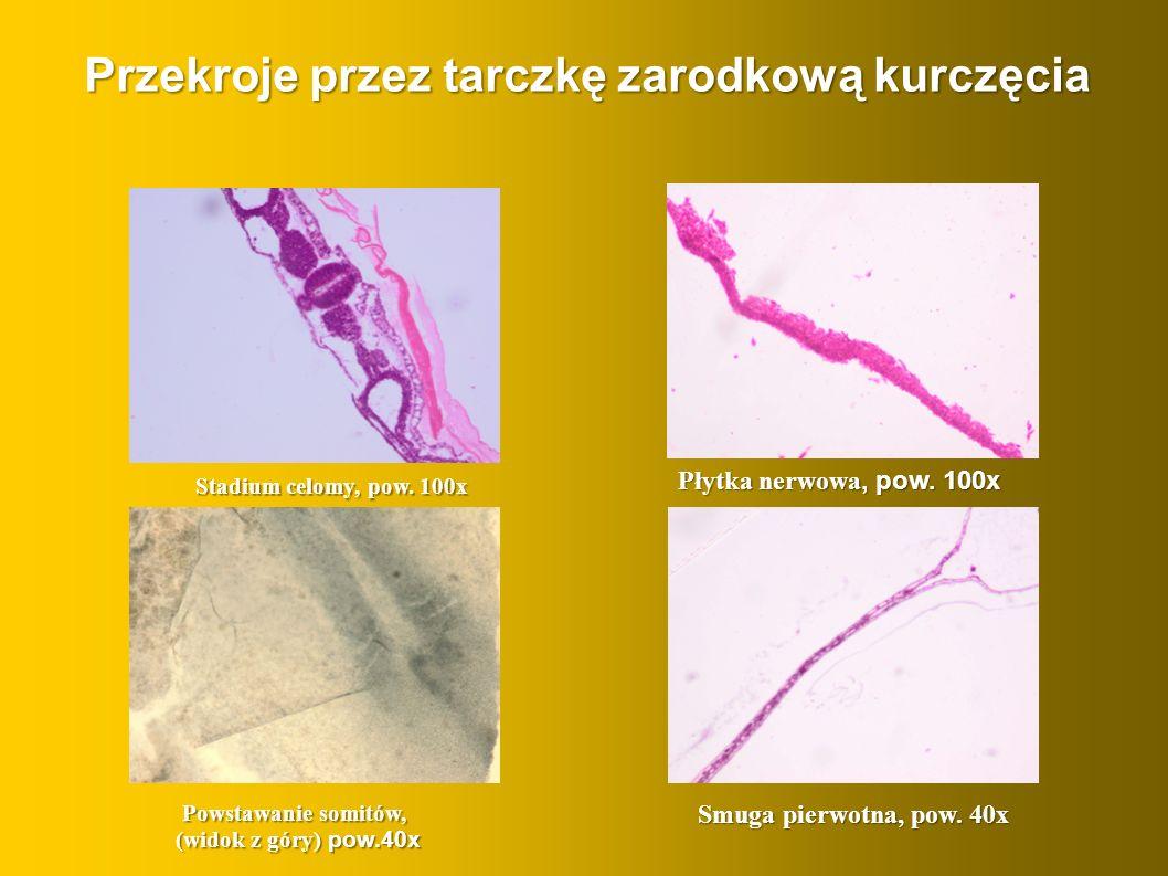 Przekroje przez tarczkę zarodkową kurczęcia