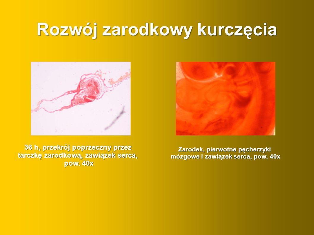 Rozwój zarodkowy kurczęcia