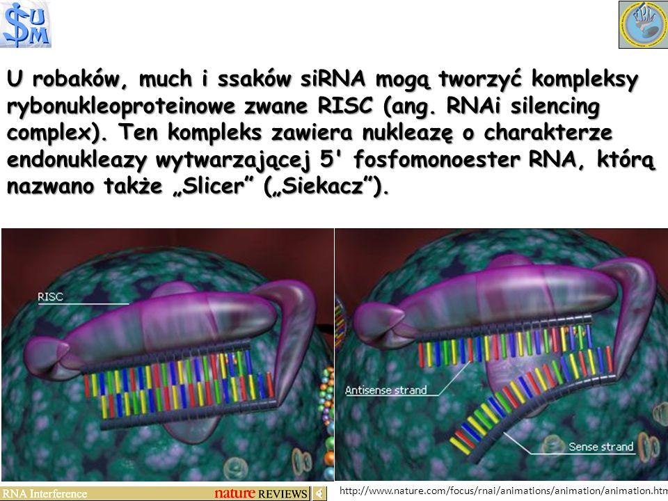 """U robaków, much i ssaków siRNA mogą tworzyć kompleksy rybonukleoproteinowe zwane RISC (ang. RNAi silencing complex). Ten kompleks zawiera nukleazę o charakterze endonukleazy wytwarzającej 5 fosfomonoester RNA, którą nazwano także """"Slicer (""""Siekacz )."""