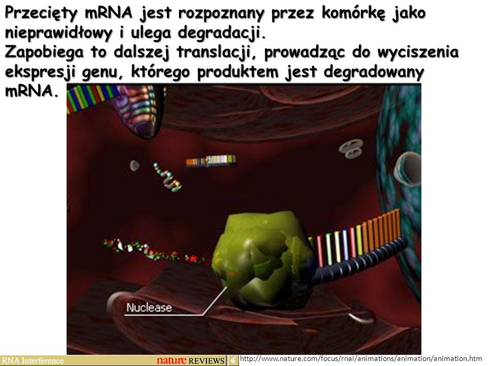 Przecięty mRNA jest rozpoznany przez komórkę jako nieprawidłowy i ulega degradacji.