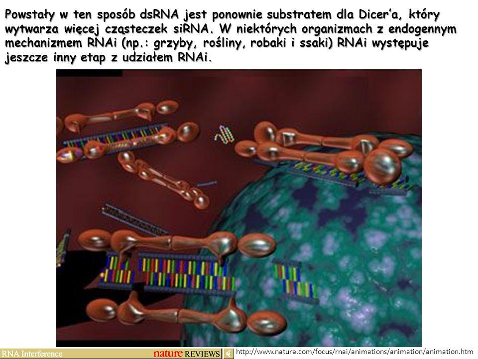 Powstały w ten sposób dsRNA jest ponownie substratem dla Dicer'a, który wytwarza więcej cząsteczek siRNA. W niektórych organizmach z endogennym mechanizmem RNAi (np.: grzyby, rośliny, robaki i ssaki) RNAi występuje jeszcze inny etap z udziałem RNAi.