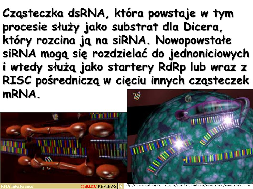 Cząsteczka dsRNA, która powstaje w tym procesie służy jako substrat dla Dicera, który rozcina ją na siRNA. Nowopowstałe siRNA mogą się rozdzielać do jednoniciowych i wtedy służą jako startery RdRp lub wraz z RISC pośredniczą w cięciu innych cząsteczek mRNA.
