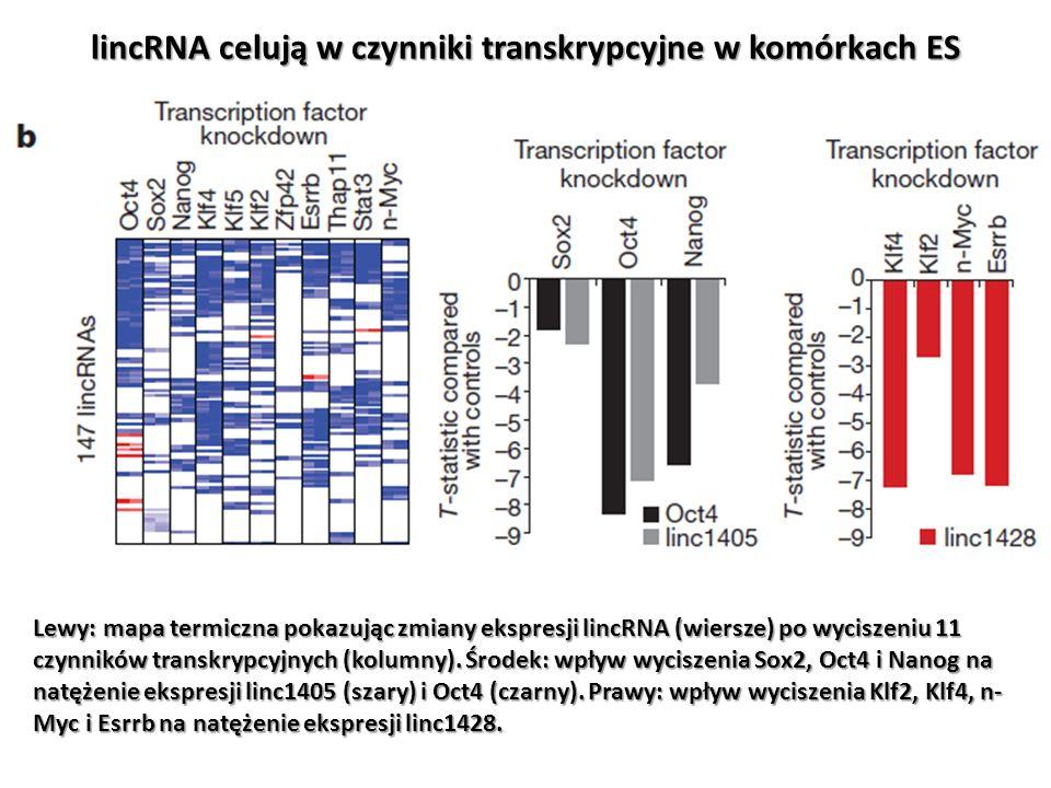 lincRNA celują w czynniki transkrypcyjne w komórkach ES