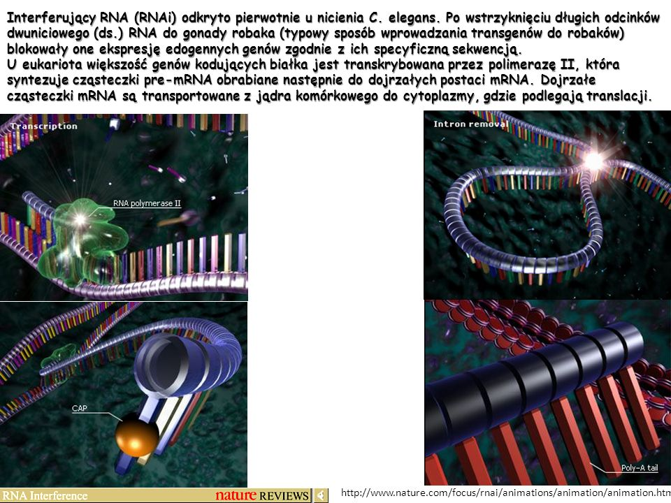 Interferujący RNA (RNAi) odkryto pierwotnie u nicienia C. elegans