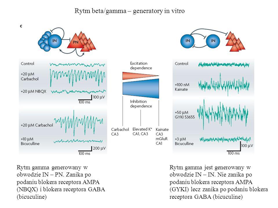 Rytm beta/gamma – generatory in vitro