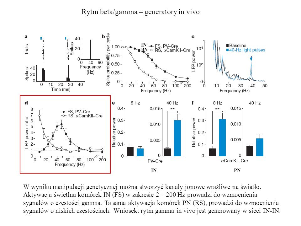 Rytm beta/gamma – generatory in vivo