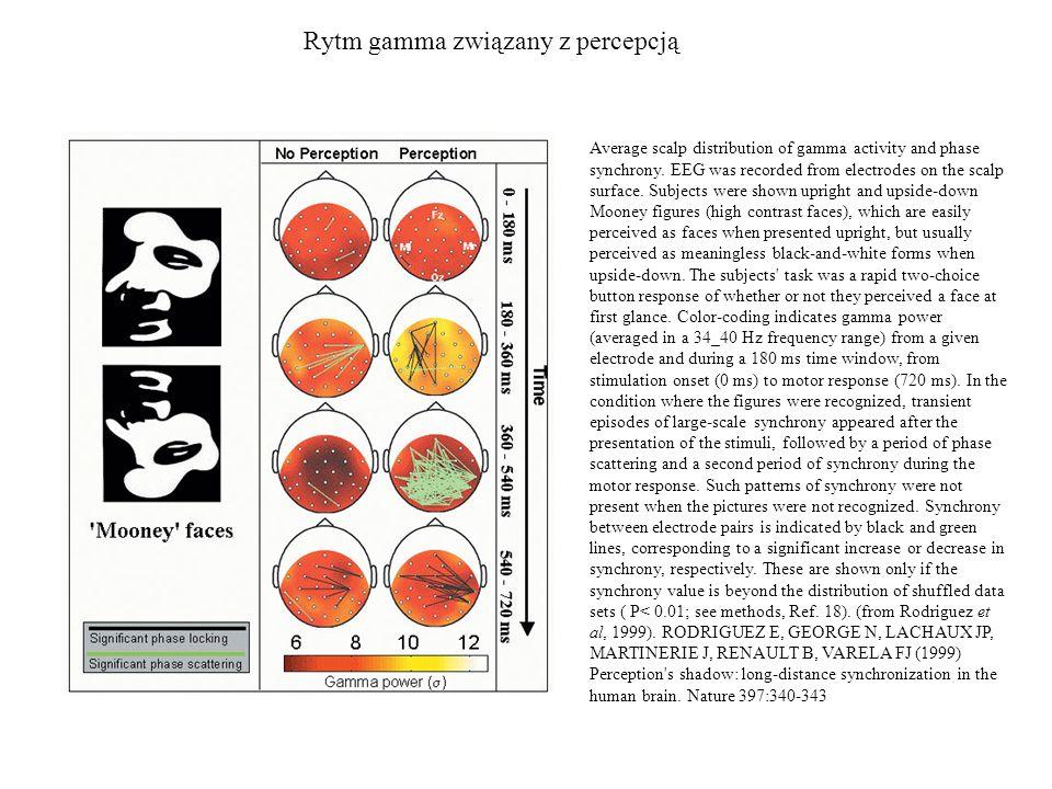 Rytm gamma związany z percepcją