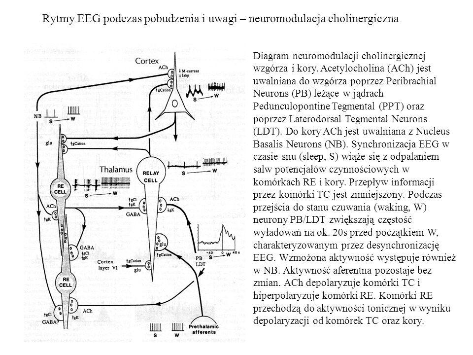 Rytmy EEG podczas pobudzenia i uwagi – neuromodulacja cholinergiczna