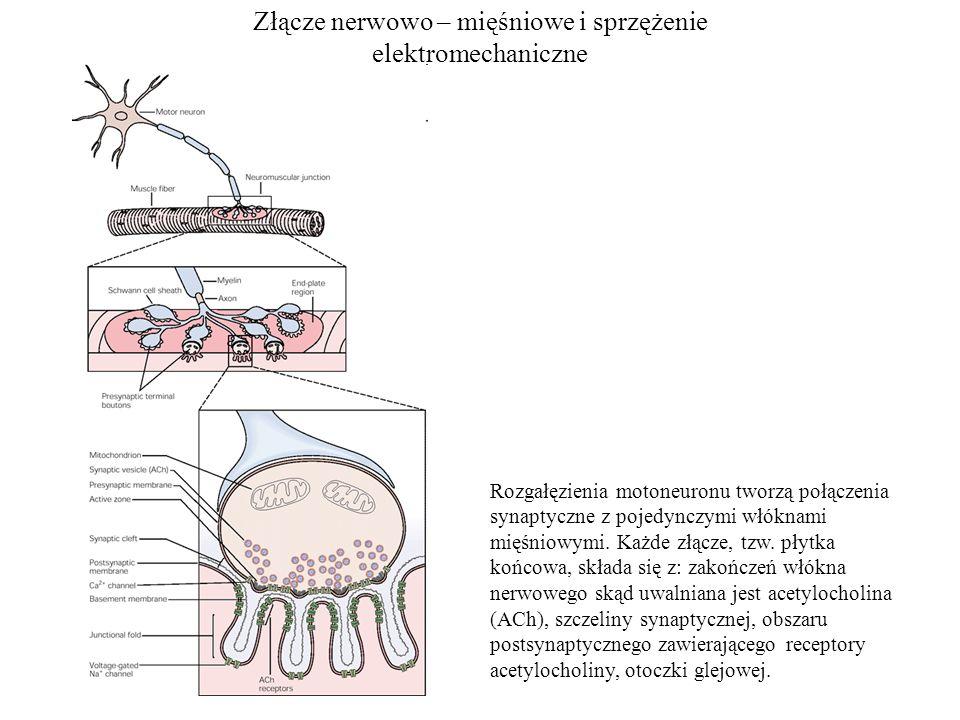 Złącze nerwowo – mięśniowe i sprzężenie elektromechaniczne