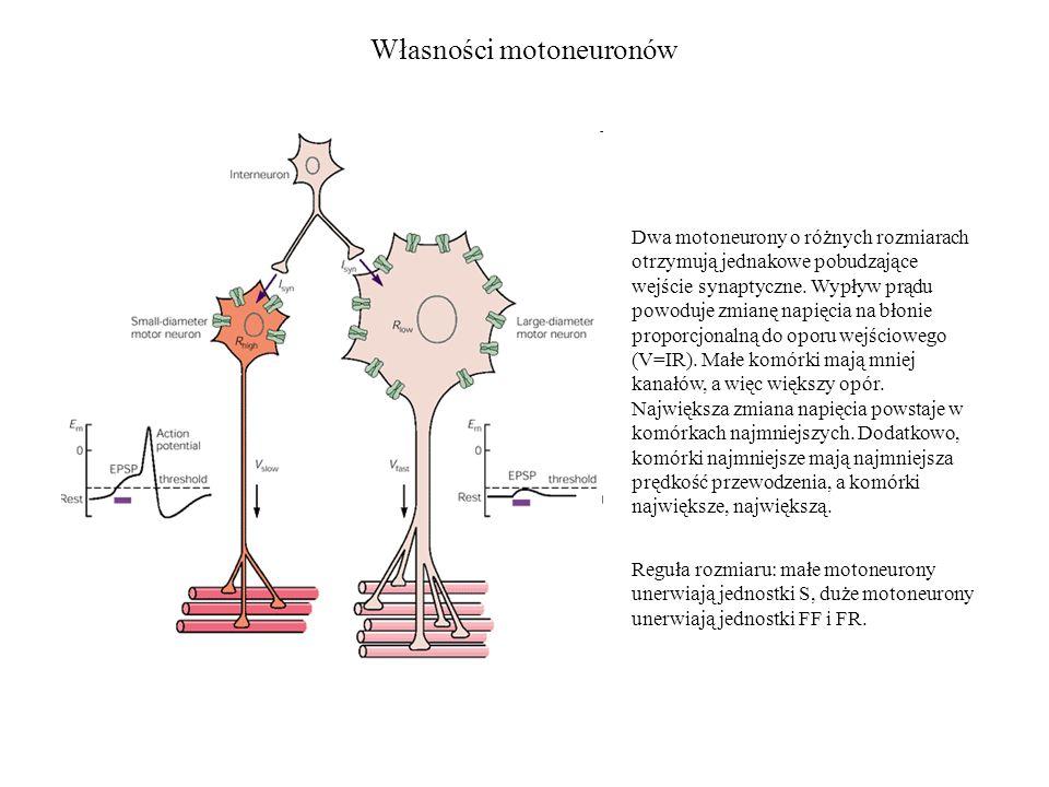Własności motoneuronów