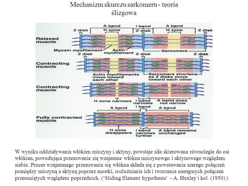 Mechanizm skurczu sarkomeru - teoria ślizgowa