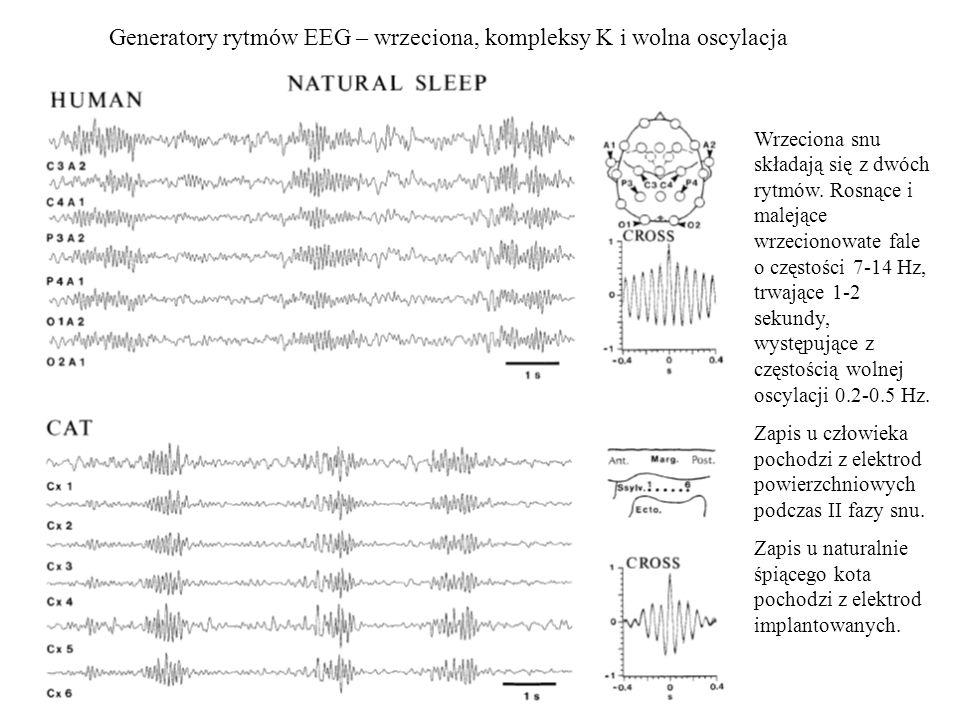 Generatory rytmów EEG – wrzeciona, kompleksy K i wolna oscylacja
