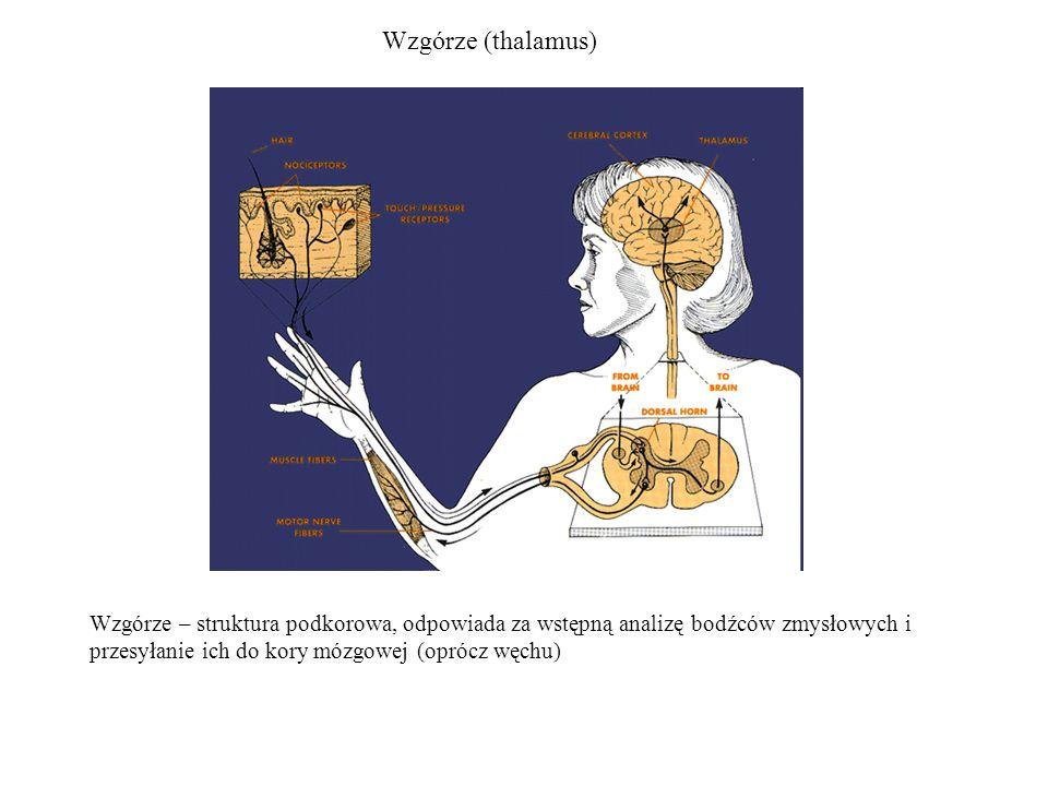 Wzgórze (thalamus) Wzgórze – struktura podkorowa, odpowiada za wstępną analizę bodźców zmysłowych i przesyłanie ich do kory mózgowej (oprócz węchu)