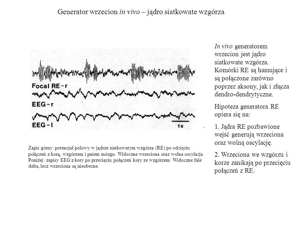 Generator wrzecion in vivo – jądro siatkowate wzgórza