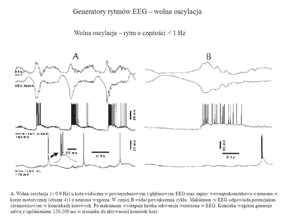 Generatory rytmów EEG – wolna oscylacja