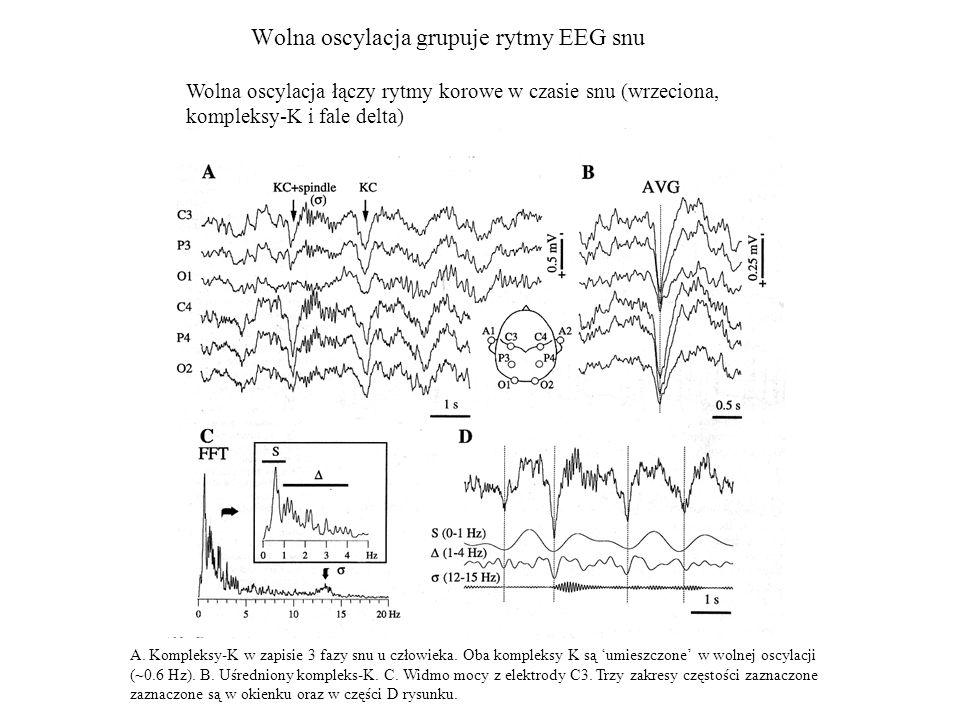 Wolna oscylacja grupuje rytmy EEG snu
