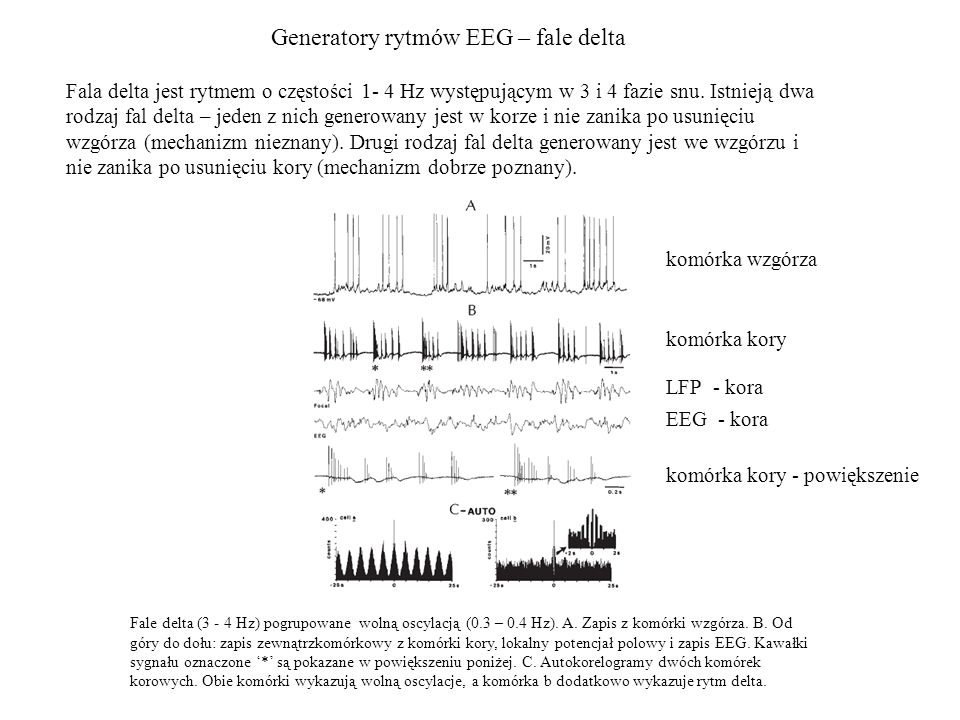 Generatory rytmów EEG – fale delta