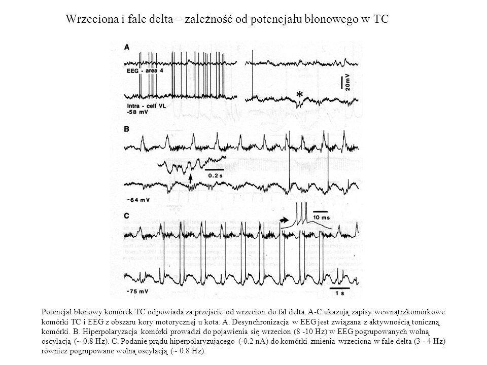 Wrzeciona i fale delta – zależność od potencjału błonowego w TC