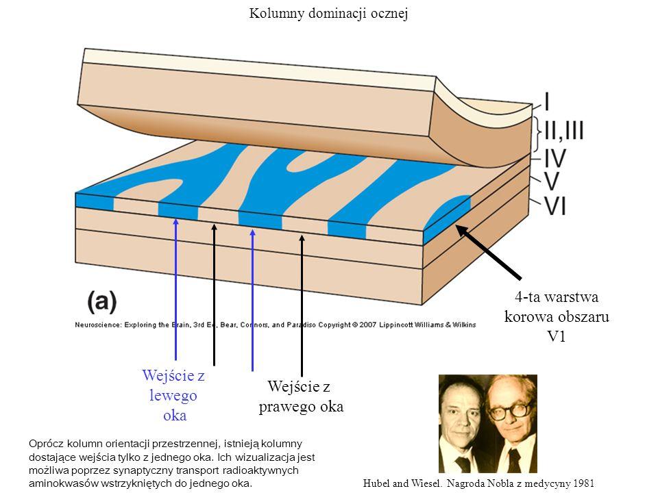 4-ta warstwa korowa obszaru V1