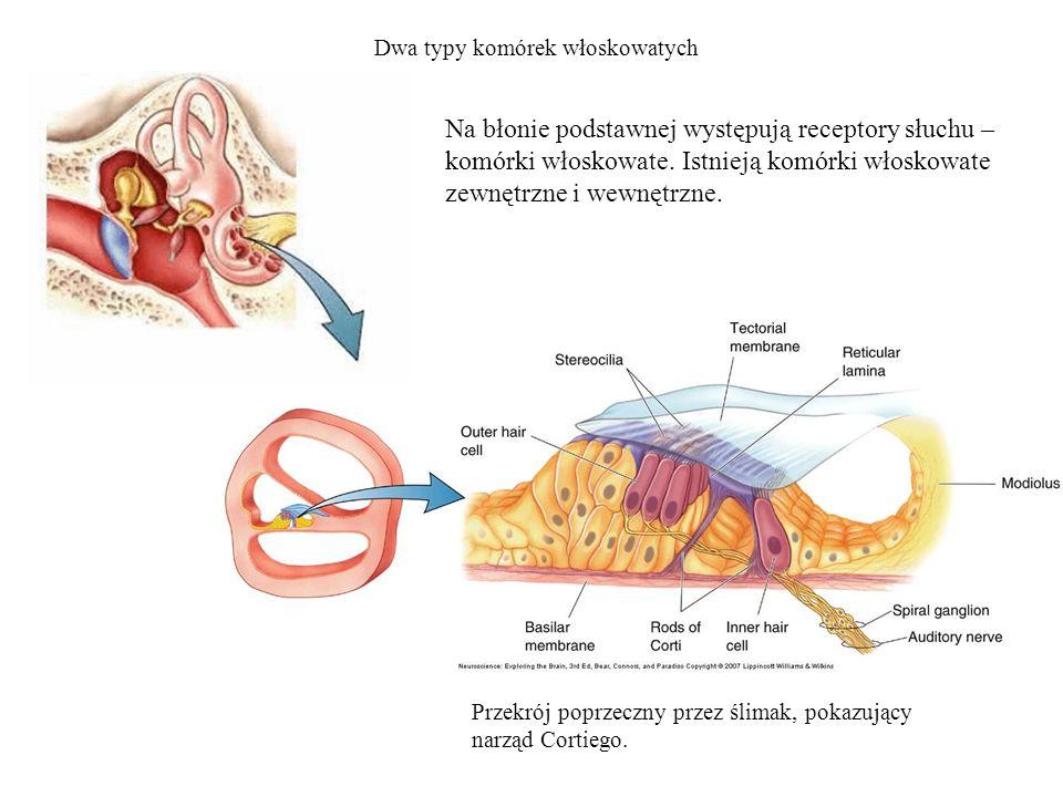 Dwa typy komórek włoskowatych