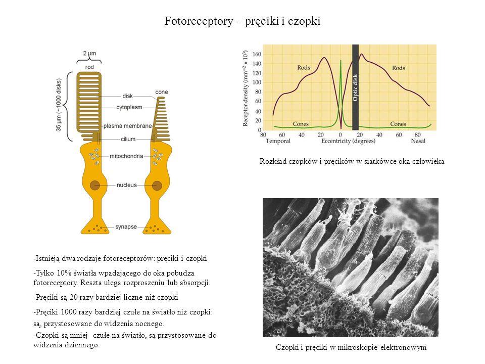 Fotoreceptory – pręciki i czopki