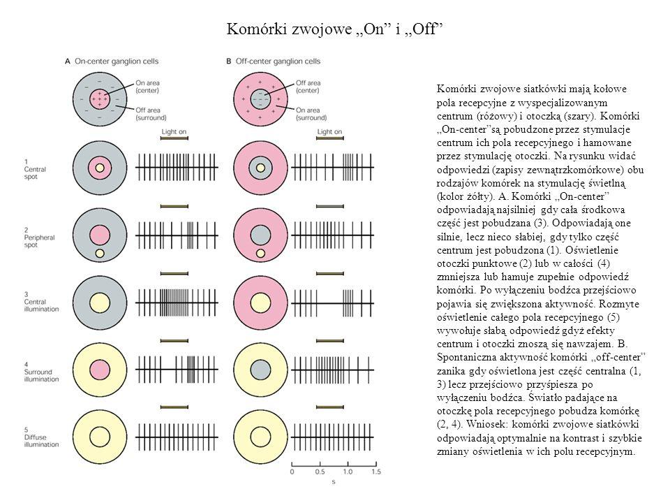 """Komórki zwojowe """"On i """"Off"""