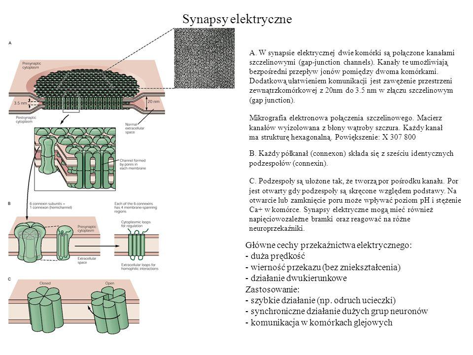 Synapsy elektryczne Główne cechy przekaźnictwa elektrycznego: