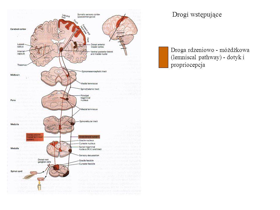 Drogi wstępujące Droga rdzeniowo - móżdżkowa (lemniscal pathway) - dotyk i propriocepcja