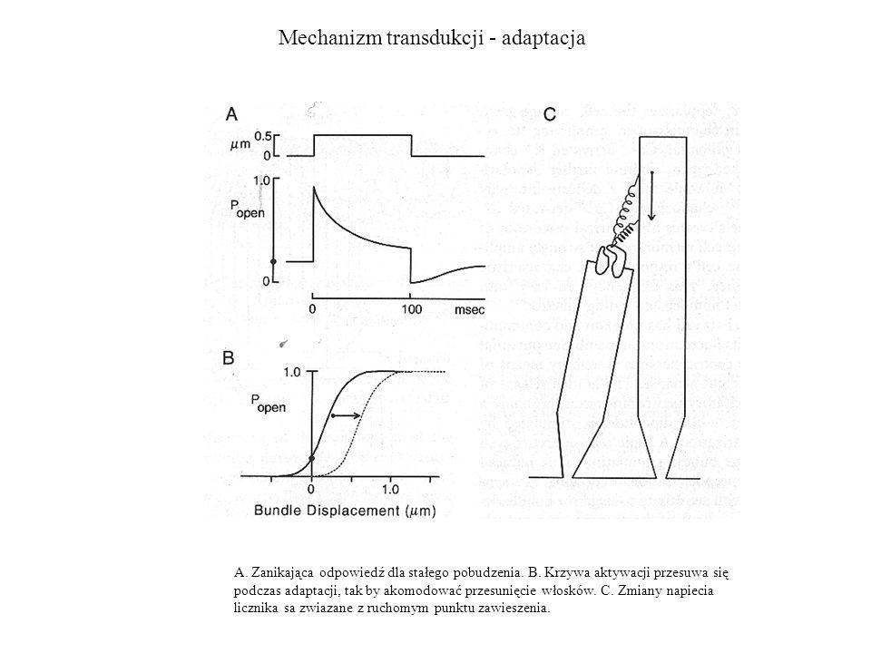 Mechanizm transdukcji - adaptacja