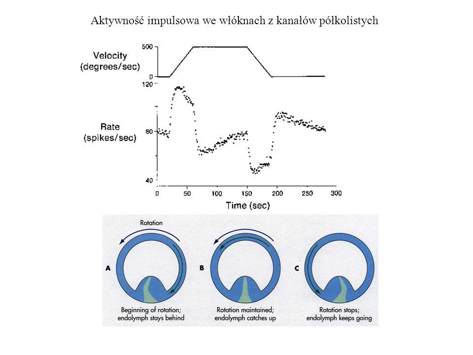 Aktywność impulsowa we włóknach z kanałów półkolistych