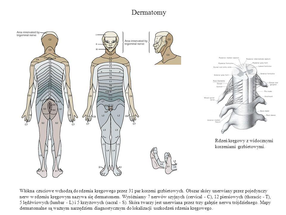 Dermatomy Rdzeń kręgowy z widocznymi korzeniami grzbietowymi.