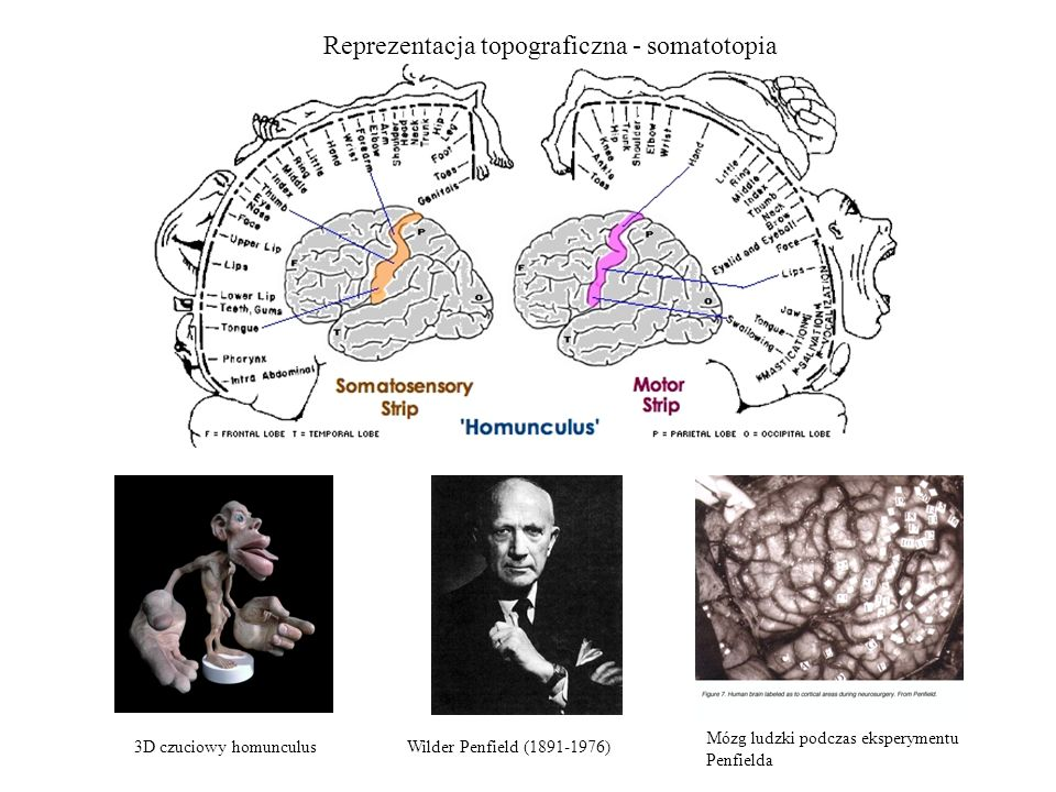 Reprezentacja topograficzna - somatotopia