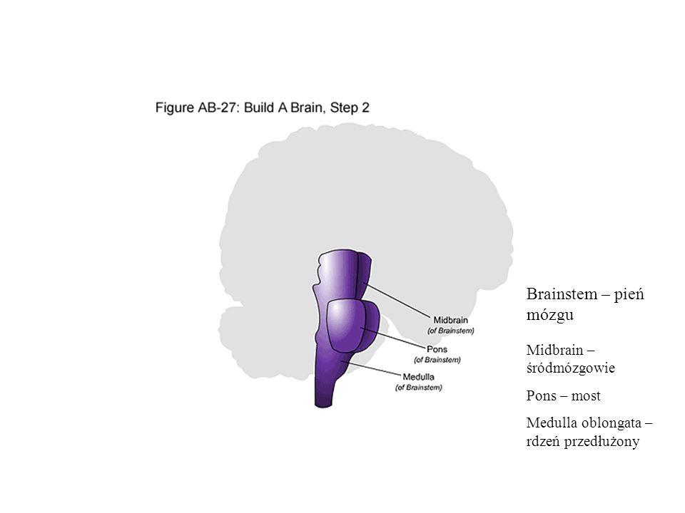 Brainstem – pień mózgu Midbrain – śródmózgowie Pons – most