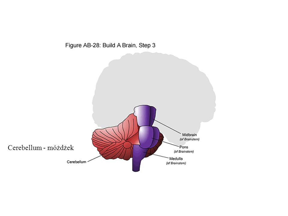 Cerebellum - móżdżek