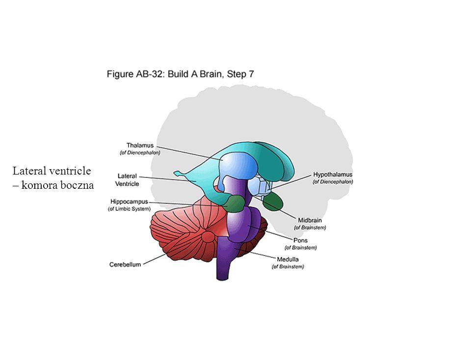 Lateral ventricle – komora boczna