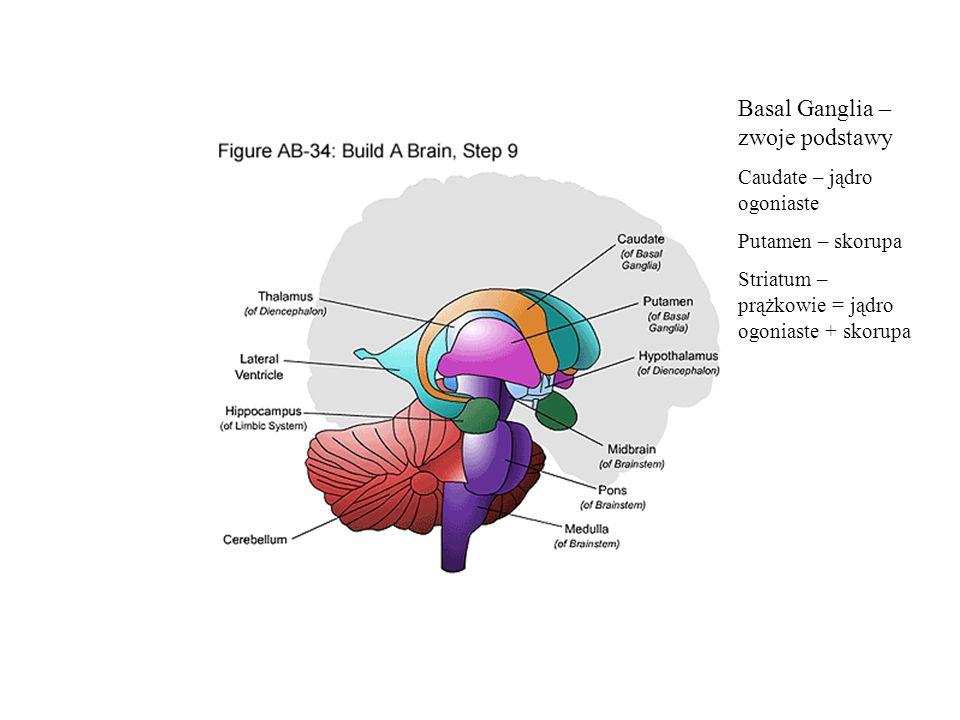 Basal Ganglia – zwoje podstawy
