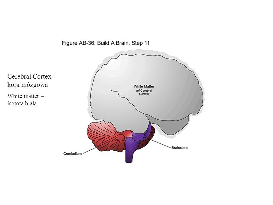 Cerebral Cortex – kora mózgowa